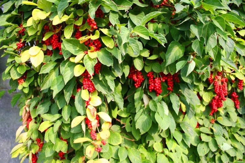 9 красивих витких рослин, якими можна приховати господарські будівлі