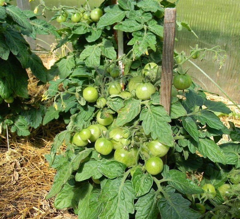 5 правил догляду за томатами після висадки в теплицю для великого врожаю