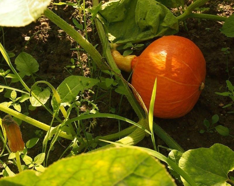Прості поради по догляду за гарбузом, які допоможуть підвищити врожайність