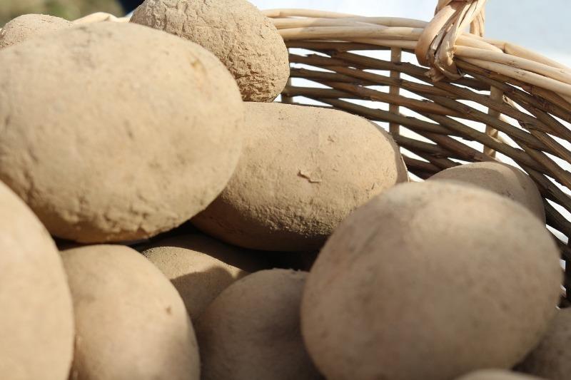 Як правильно викопати картоплю і зберегти урожай до весни
