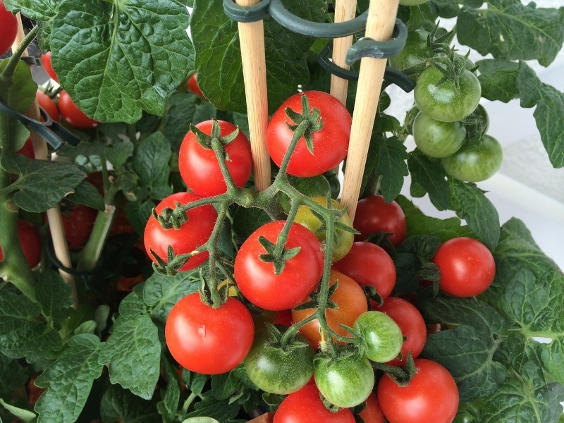 4 особливості догляду за томатами в серпні