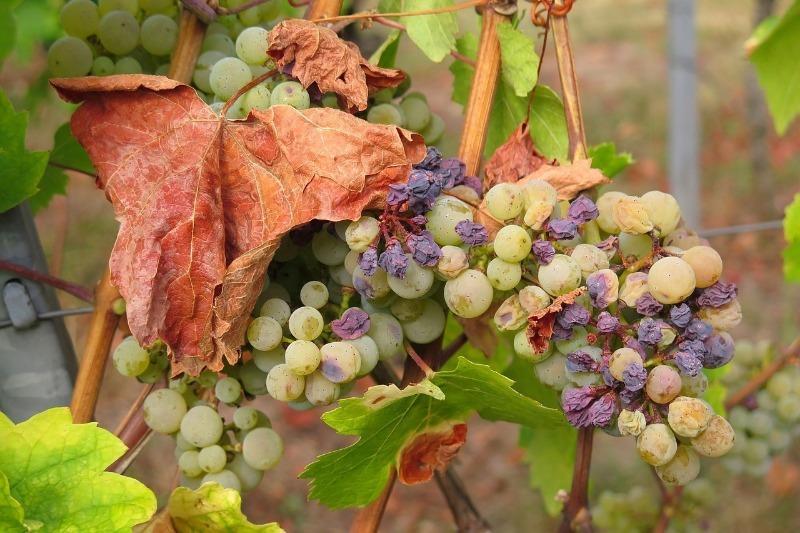 Чому ягоди винограду засихають прямо на кущах