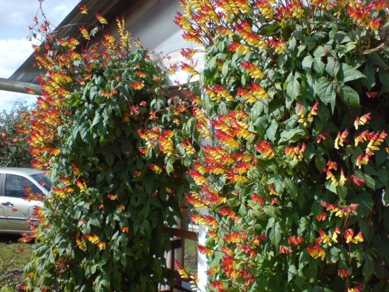 5 однорічних кучерявих ліан для швидкого озеленення альтанки