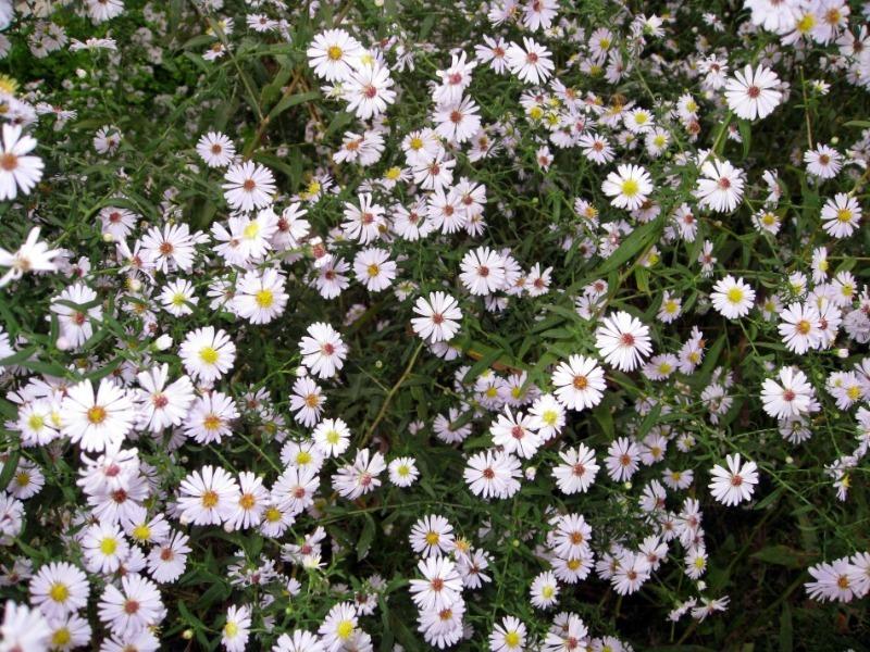 9 рослин для посадки вздовж доріжок, які створять безперервне цвітіння