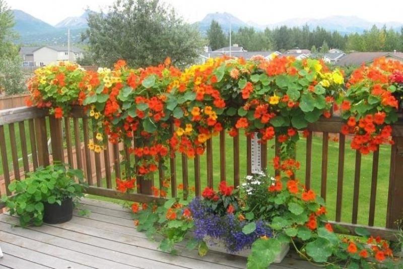 7 прекрасних швидкозростаючих кучерявих квітів для забору, арок і шпалер на дачі