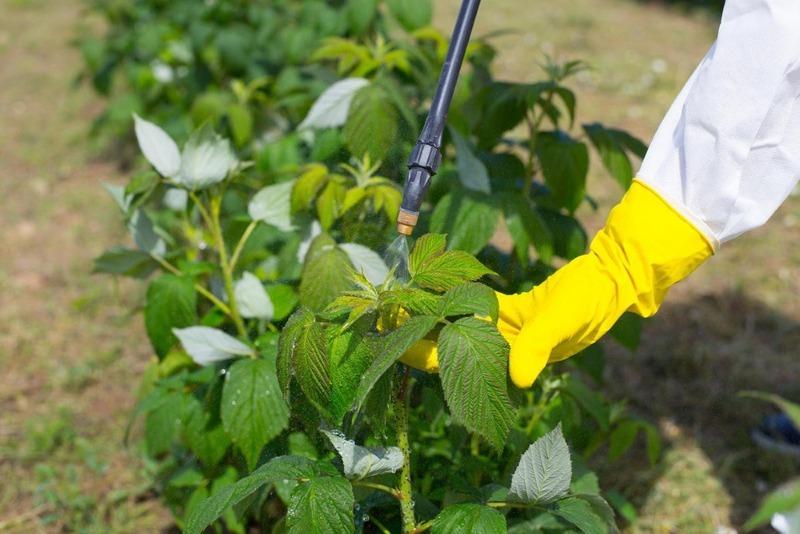 Малина без червяків: 6 способів боротьби зі шкідниками