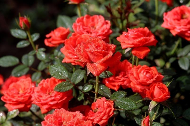 Як продовжити пишне цвітіння троянд