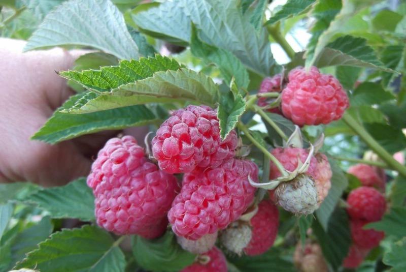Що можна посадити під деревом без шкоди для врожаю: 10 корисних культур