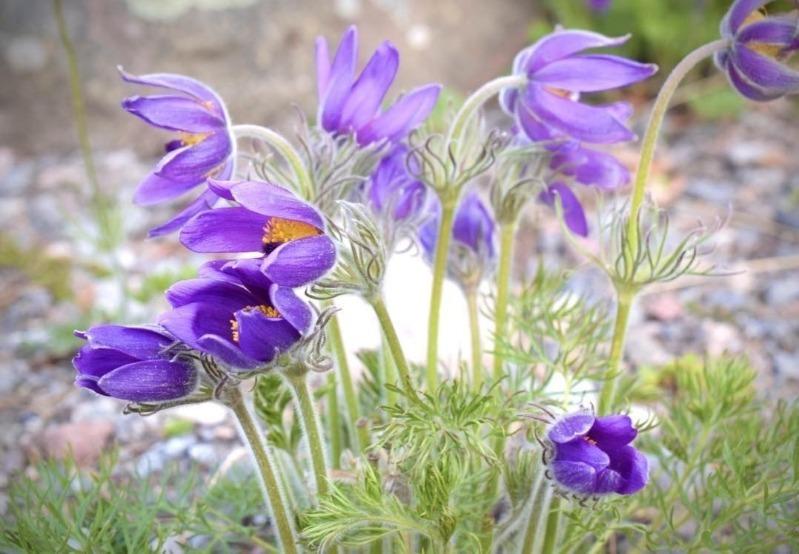 Звичні рослини на дачі, які насправді отруйні