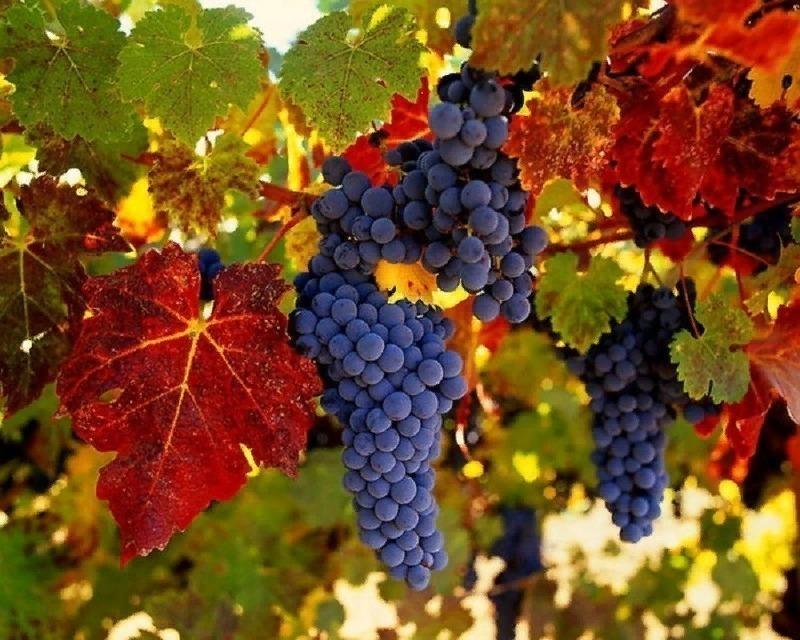 12 винних сортів винограду, які можна виростити в середній смузі росії