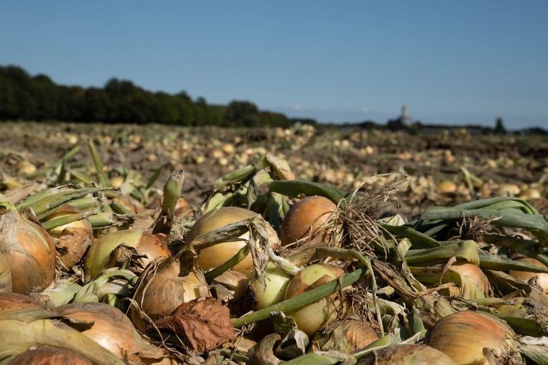 Прості поради щодо збирання цибулі, завдяки яким урожай збережеться довше
