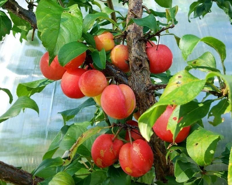 5 гібридів плодових дерев, які навіть смачніші за своїх батьків