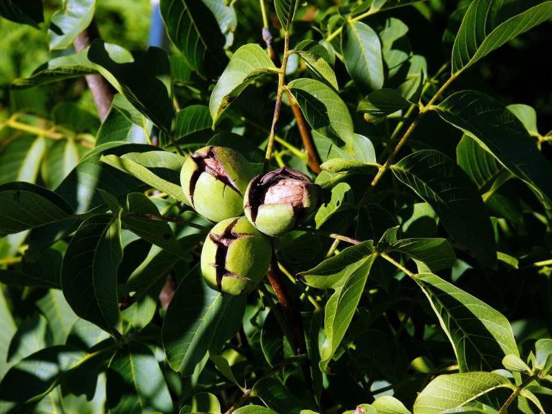 6 самих невибагливих у догляді плодово-ягідних культур, які візьмуться на будь-якій дачі