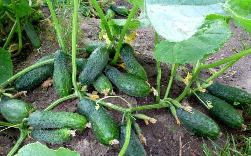 6 простих у догляді овочів, виростити які зможе навіть початківець садівник