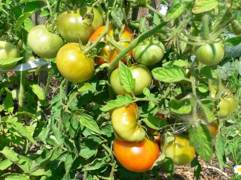 8 невибагливих сортів томатів, розсаду яких можна сіяти вже в березні