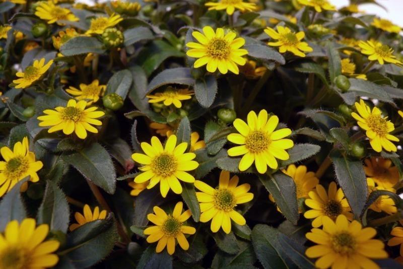 6 красивих квітів, які чудово підійдуть для кашпо і підлогових контейнерів