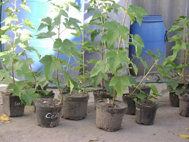 Як я виростила новий кущ смородини всього лише з однієї гілки на материнській рослині