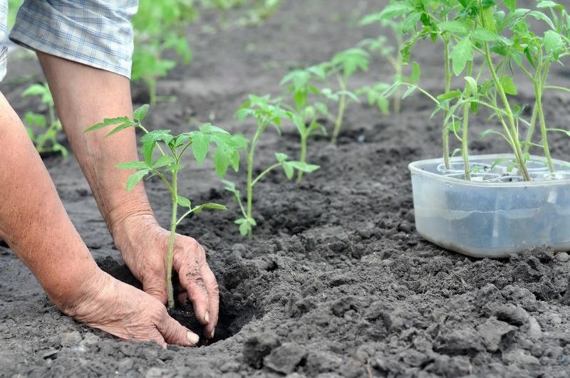 На якій відстані один від одного висадити томати, щоб урожай був небувалим