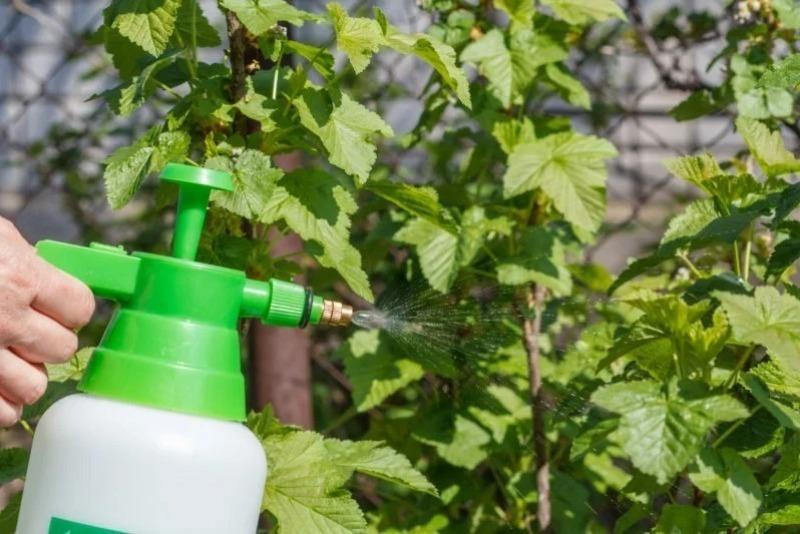 5 способів застосування соснових голок для захисту рослин від шкідників і хвороб