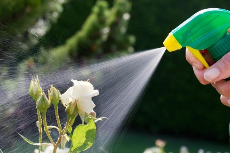 10 способів позбутися попелиці, яка атакує улюблені троянди