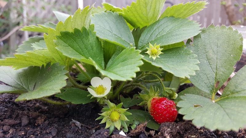 9 корисних способів використання зеленки в саду і городі
