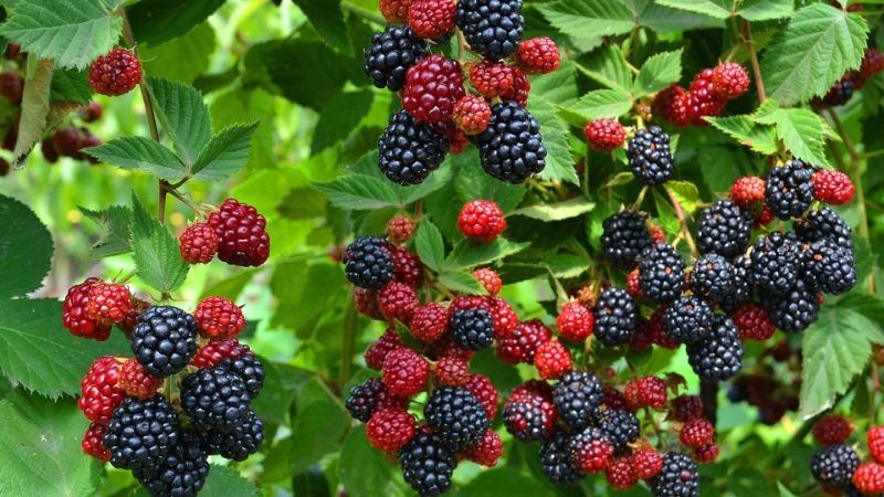 7 рослин 2-в-1, які зміцнюють схили і відмінно плодоносять
