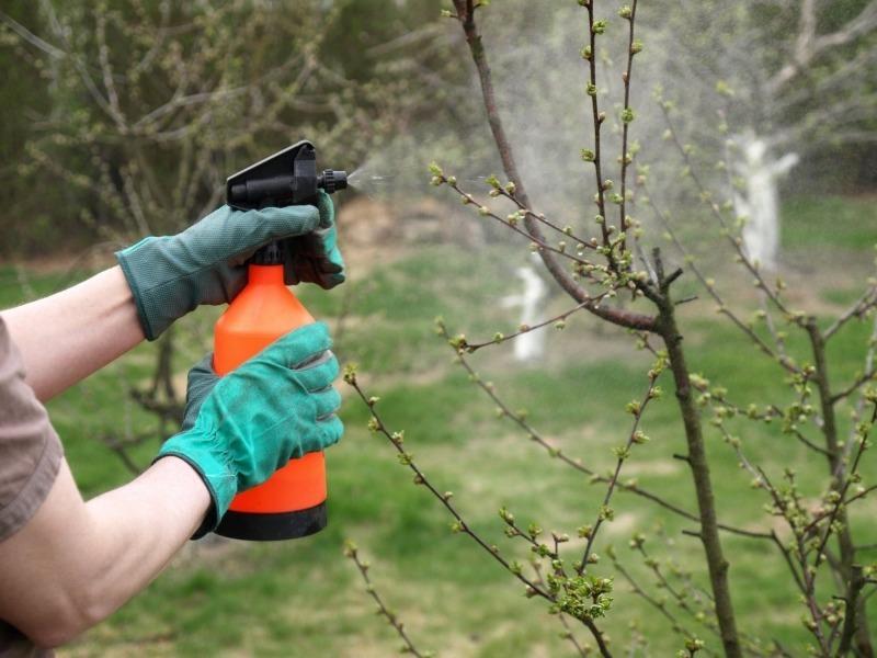 Чому чорніють яблука на дереві: причини і методи боротьби