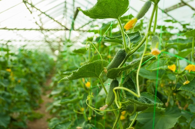 9 тонкощів вирощування відмінного врожаю огірків