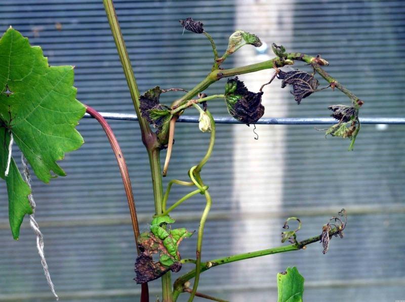Увага на листя: 6 хвороб винограду, які можуть позбавити вас врожаю