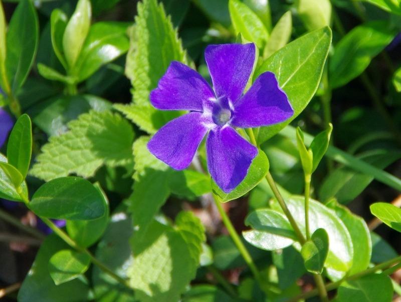 5 красивих рослин, які переможуть буряни на ділянці