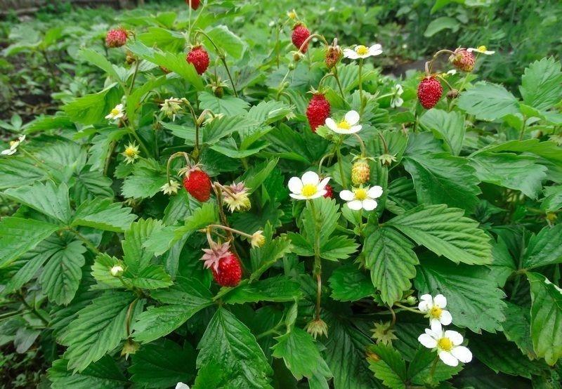 Дикі ягоди, які на городі ростуть навіть краще, ніж в лісі