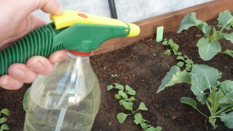 Як використовувати звичайну валерянку проти шкідників капусти