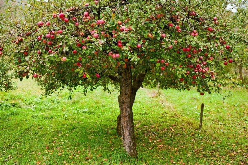 4 дерева і 3 чагарники, які будуть плодоносити навіть в тіні