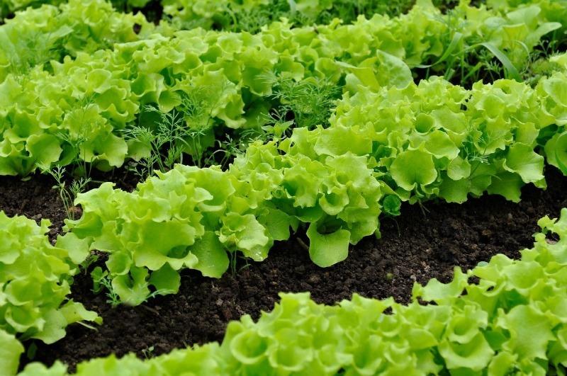 Які рослини можна і не можна садити поруч з томатами в теплиці
