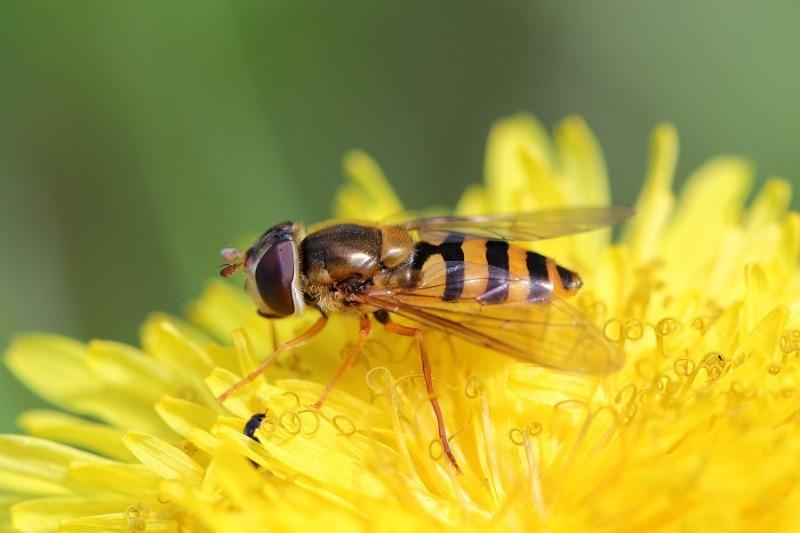 Не поспішайте знищувати: 9 дуже корисних комах в саду