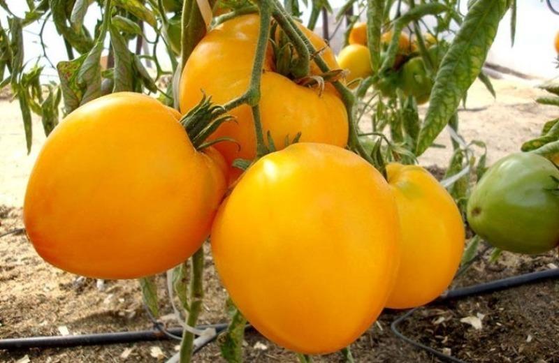 5 кращих сортів великих і мясистих томатів 2020 року