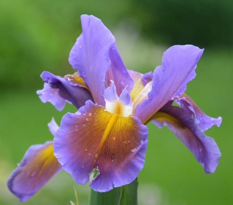 6 красивих сортів ірисів спуріа, які практично не хворіють