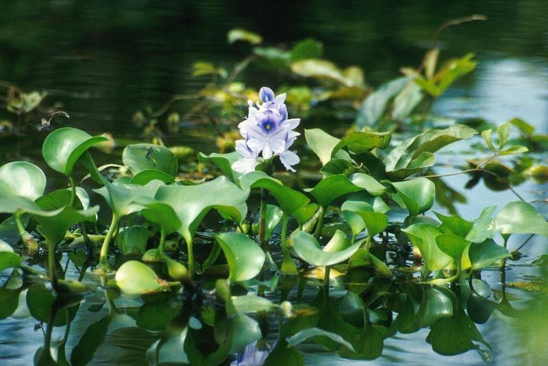 7 рослин, які швидко зроблять воду в ставку прозорою