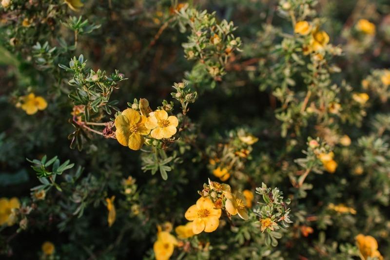10 чагарників, які залучають бджіл на ділянку