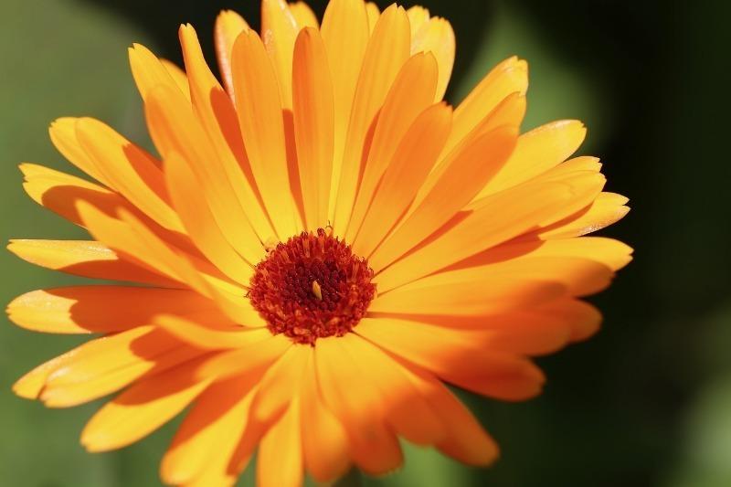 5 корисних рослин, які ще встигнете зібрати і засушити