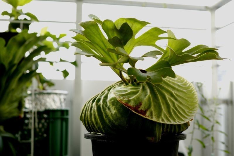 7 незвичайних і прекрасних кімнатних рослин, про існування яких ви і не здогадувалися