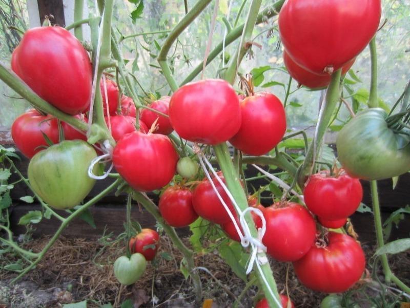 6 невибагливих низькорослих томатів сибірської селекції, які варто посадити в 2020 році