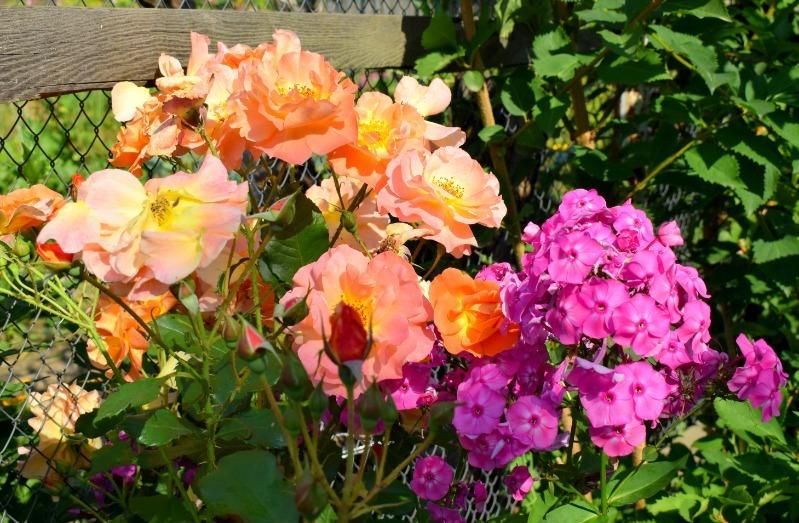 8 квітів, які можна посадити поруч з трояндами