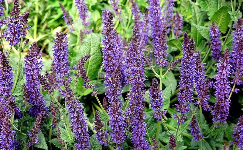 8 кращих трав і чагарників для чаю прямо з грядки