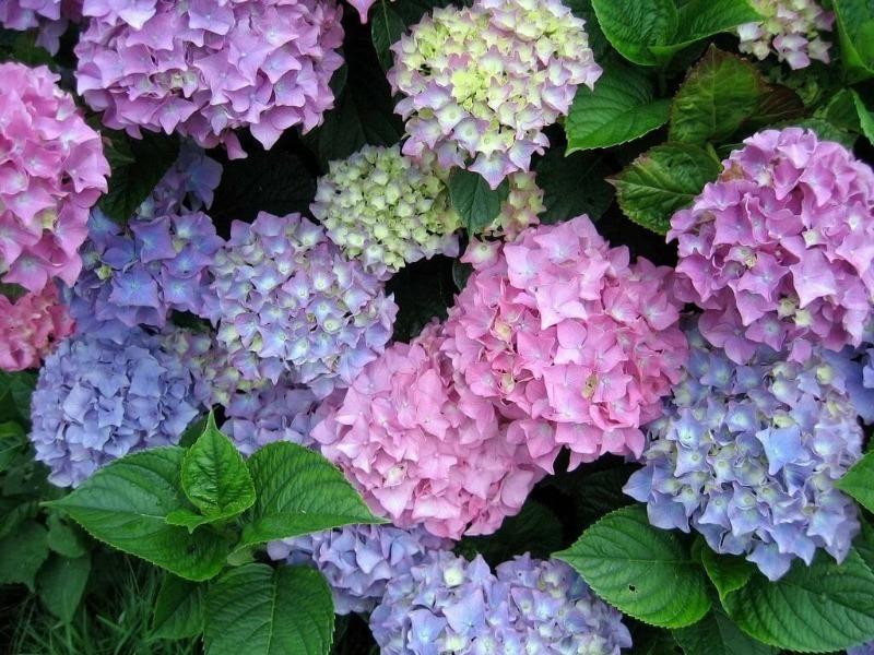 7 невибагливих чагарників, які красиво цвітуть все літо