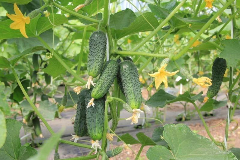 8 сортів гібридних огірків без гіркуватості для теплиці