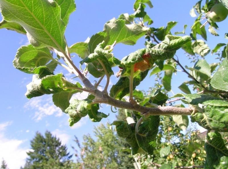 Скручуються листя на яблуні або груші: 7 причин і способи боротьби
