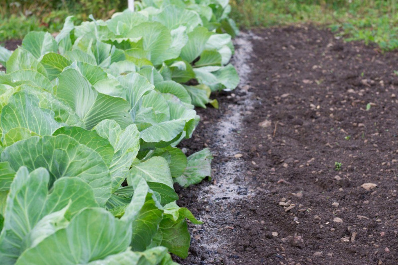 Залишаємо ненажерливих слимаків без обіду: 11 способів боротьби зі шкідниками на капусті