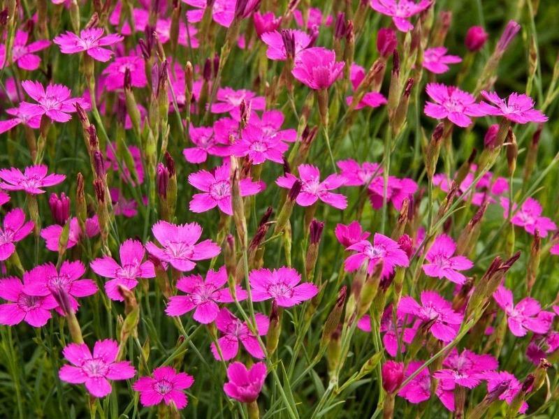 11 грунтопокривних рослин, які цвітуть все літо