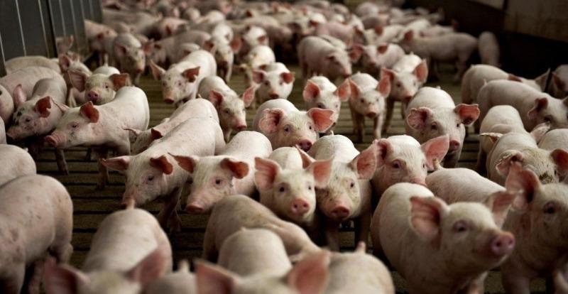 Тварини, з розведенням яких впорається навіть початківець фермер